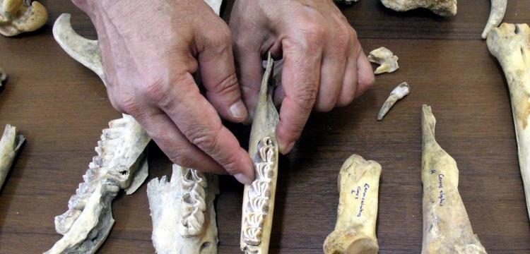Van'da Demir Çağı'na ait kızıl geyik iskeleti bulundu