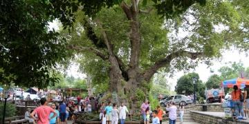 Hatayda 3 bin yıllık Musa Ağacına büyük ilgi