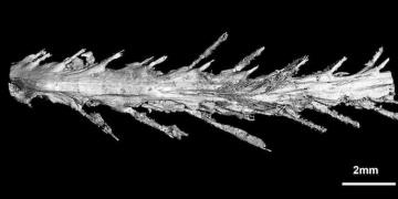 99 milyon yıllık dinozor kuyruğu bulundu