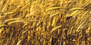 Arkeoloji kazılarında bulunan tahıllar çok şey anlatıyor