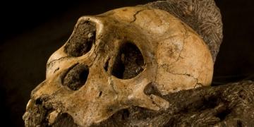 Australopithecus sediba insansı bir tür olmayabilir mi?