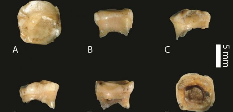 Denisova İnsanı'na ait yeni fosil keşfedildi: Bir süt dişi!