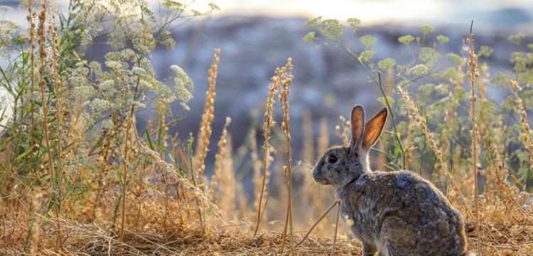 Akdamar Adası'nın tavşanları taşındı