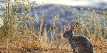 Akdamar Adasının tavşanları taşındı