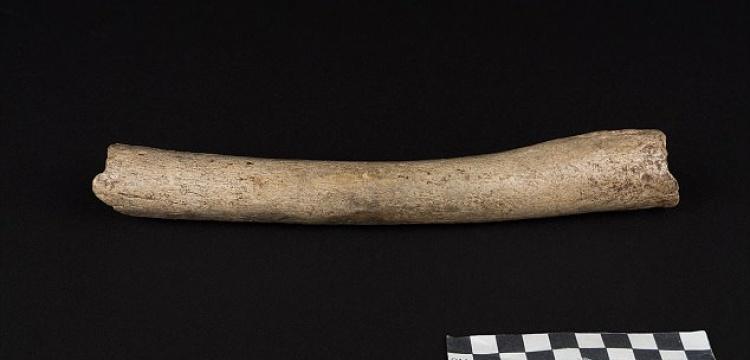 Neanderthal uyluk kemiği, insansılara dair hipotezleri değiştirdi