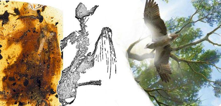 Kehribarda tamamı fosilleşmiş 99 milyon yıllık kuş fosili