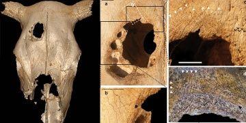 İnek kafatasındaki 5400 yıllık delik neden açılmıştı?