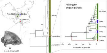 Çinde bulunan 22 bin yıllık fosilden yeni panda türü keşfedildi