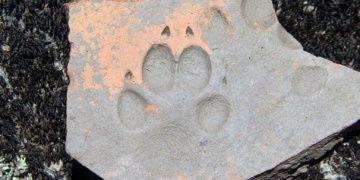Latmosta bin yıllık köpek patisi izi bulundu
