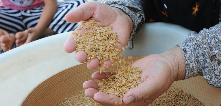 Antik Sorgül buğdayı Mardinli çiftçilere ücretsiz dağıtılacak