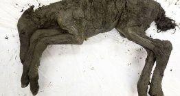 Yakutistanda bulunan bozulmamış 40 bin yıllık tay klonlanmak isteniyor