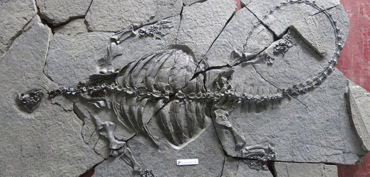 Çin'de kabuksuz ve gagalı kaplumbağa fosili bulundu