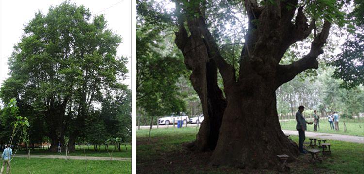 Tekkeköy'deki 900 yıllık çınar anıt ağaç olarak tescillendi