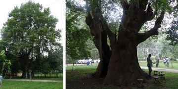 Tekkeköydeki 900 yıllık çınar anıt ağaç olarak tescillendi