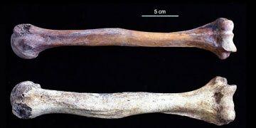 Japon Aichi erkeklerinin iri pazı kemikleri nasıl gelişti?