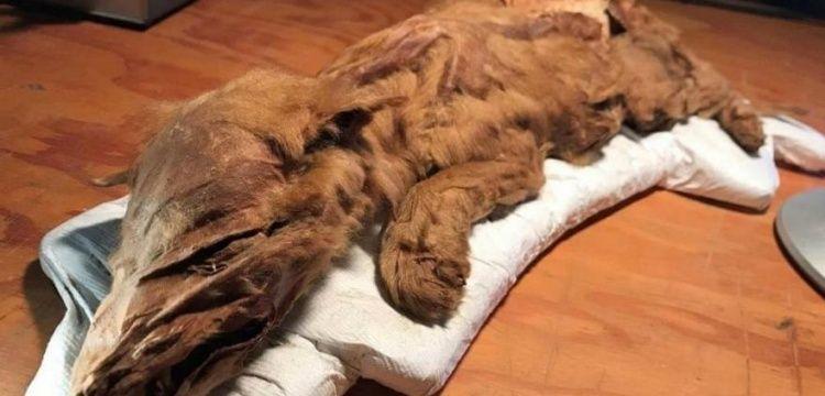 Kanada'da bulunan 50 bin yıllık donmuş kurt ve geyik sergileniyor