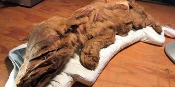 Kanadada bulunan 50 bin yıllık donmuş kurt ve geyik sergileniyor