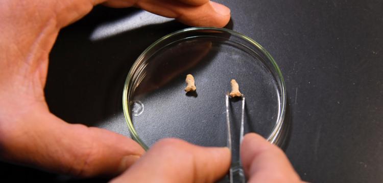 Polonya'da 115 bin yıllık 'sindirilmiş' Neandertal kemikleri bulundu