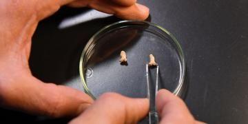 Polonyada 115 bin yıllık sindirilmiş Neandertal kemikleri bulundu