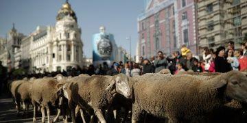 Madrid sokakları Trashumancia Şenliğinde koyunla doldu