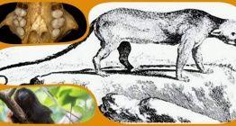 Gizemli Jamaika Memelisi, Titi Maymunu ile akraba çıktı