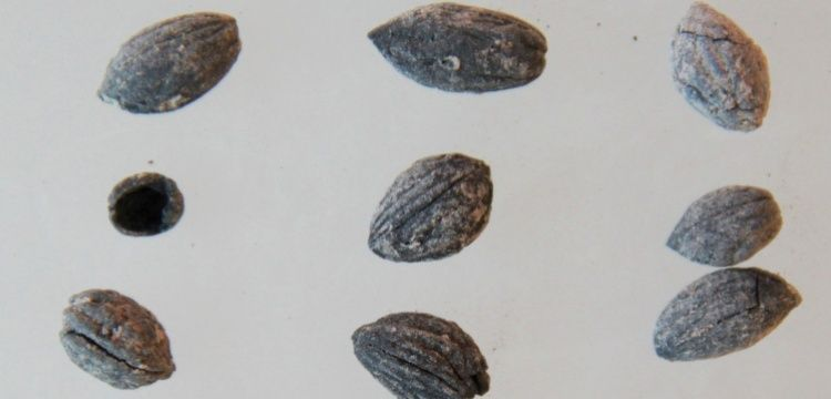 Oylum Höyük'te 4 bin yıllık zeytin çekirdekleri bulundu