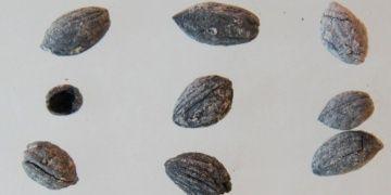 Oylum Höyükte 4 bin yıllık zeytin çekirdekleri bulundu