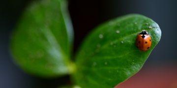 Kahramanmaraşta uğur böceği müzesi kurulmak isteniyor