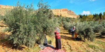 Tarihi Deyrulzafaran Manastırında zeytin hasadı zamanı