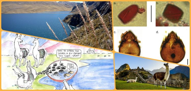 Lama dışkısındaki oribatid akar ve mantarlar İnka tarihini anlatıyor