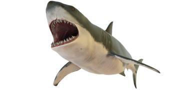Megalodonları büyük beyaz köpekbalıklarının yok ettiği öne sürüldü