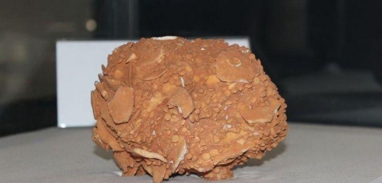 44 santimetre boyundaki 65 milyon yıllık dev salyangoz fosiline ilgi yoğun