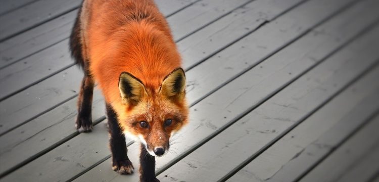 Foxes were domesticated in the Bronze Age