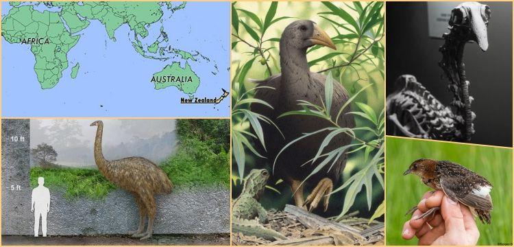 African Origins for New Zealand's mysterious bird Adzebill