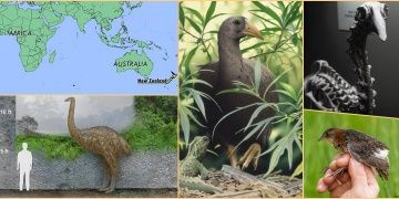 African Origins for New Zealands mysterious bird Adzebill