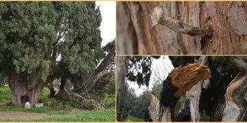 Bursada 700 yıllık 2 anıt ağaç hunharca muameleye maruz kaldı