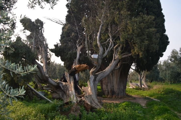 İznik'te 7 asırlık 2 anıt ağacı bu halde görenler gözlerine inanamadı