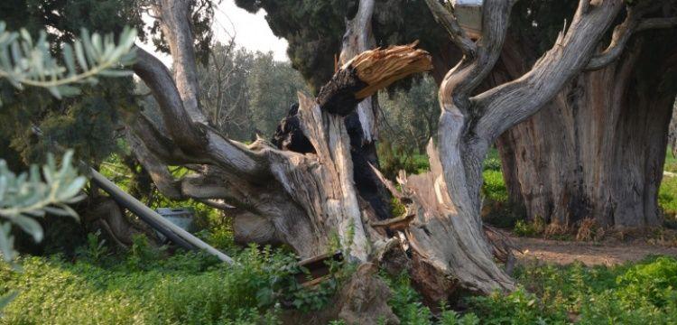 İznikte 7 asırlık iki anıt ağaç saldırıya uğradı