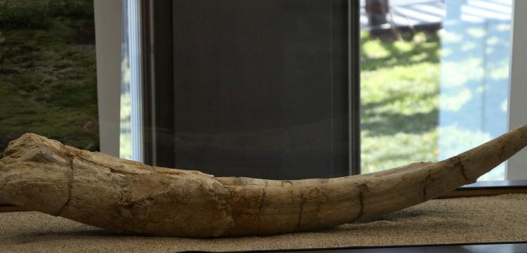 Kayseride bulunan 7,5 milyon yıllık fosiller sergilenmeye başlandı