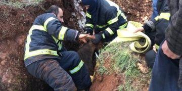 Defineci çukuruna düşen ineği Adıyaman itfaiye ekipleri zor kurtardı