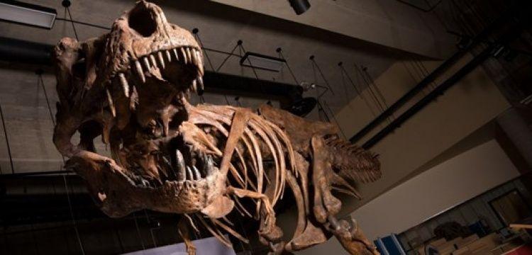 Bilinen en büyük ve en yaşlı T-rex fosili Kanada'da bulundu