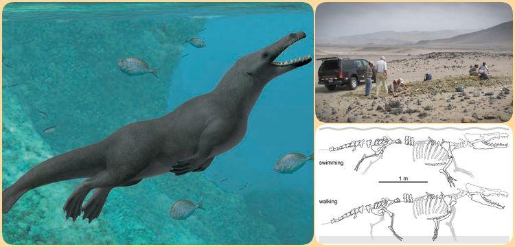 Peru'da bulunan 43 milyon yılllık yürüyen balina fosili şaşırttı!