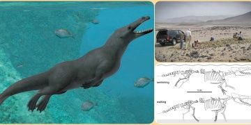 Ancient walking whale uncovered in Peru