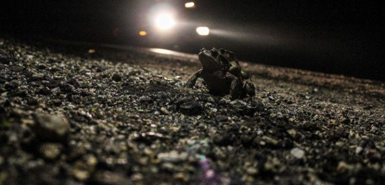 Arkeologlar kurbağalar için karayollarından özel tüneller istedi