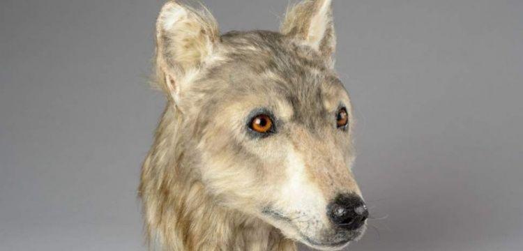 Neolitik çağda evcilleştirilen köpeğin yüzü canlandırıldı