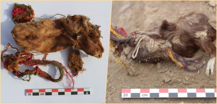 İnkaların Guinea Pig'leri topluca kurban ettiği ilk kez kanıtlandı!