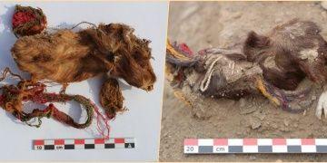 İnkaların Guinea Pigleri topluca kurban ettiği ilk kez kanıtlandı!