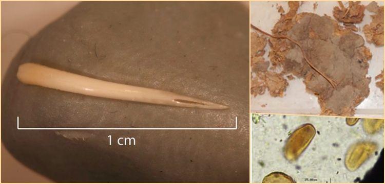Arkeologlar 1500 yıllık insan dışkısında çıngıraklı yılan dişi buldular!