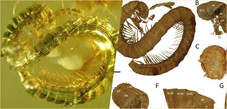 Myanmar'da kehribar içinde 99 milyon yıllık kırkayak fosili keşfedildi