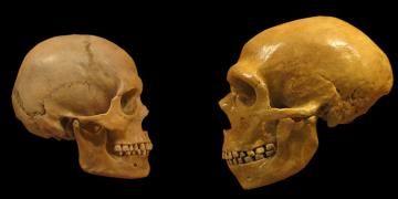 Neandertal ile Homo Sapiensin ayrışma zamanına dair yeni varsayım